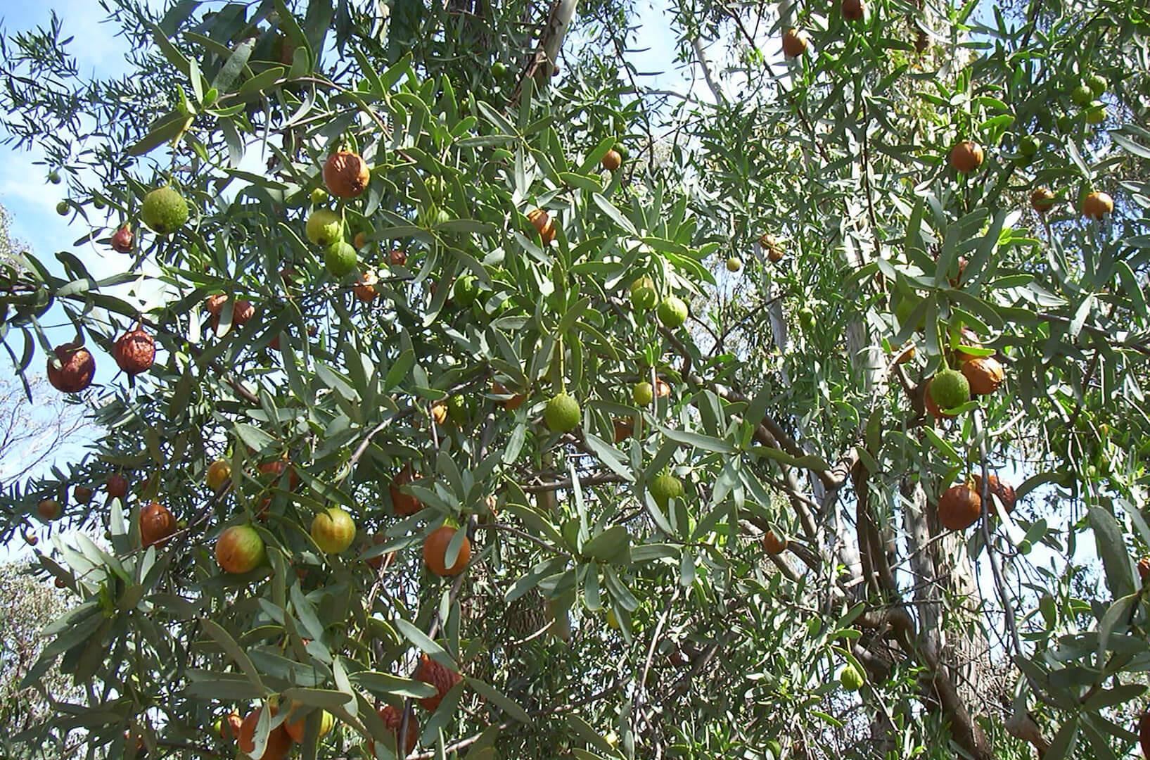 Dutjahn Sandalwood Oils - Jandico